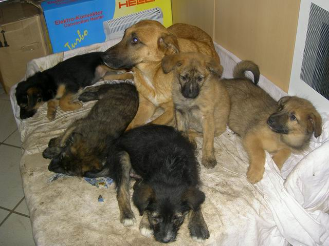 pavo krankheit hunde
